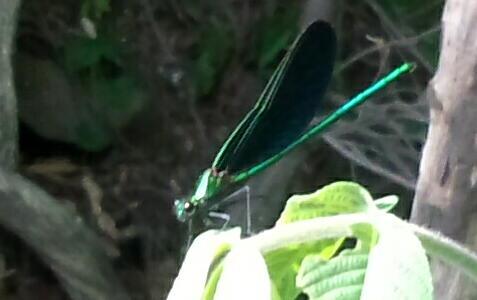 ハグロトンボ(羽黒蜻蛉)